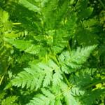 Er du også tunet ind på de vilde urter?